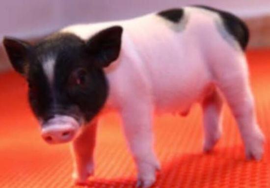 去除异种病毒,猪器官人体移植又进了一大步