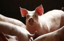 为器官移植做贡献,日本允许在动物受精卵中注入人类细胞