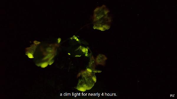 """MIT研究团队利用纳米粒子浸入植物叶片,让盆栽秒变""""台灯"""""""