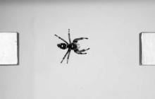 """国外团队正研究""""蜘蛛的跳跃方式"""",希望打造更好的微型跳跃机器人"""